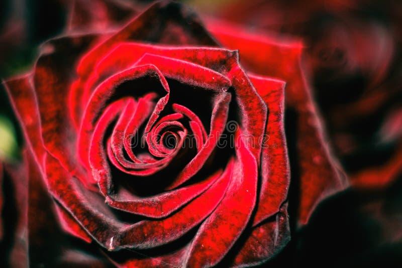 ramalhete cor-de-rosa Metade-inoperante imagem de stock royalty free