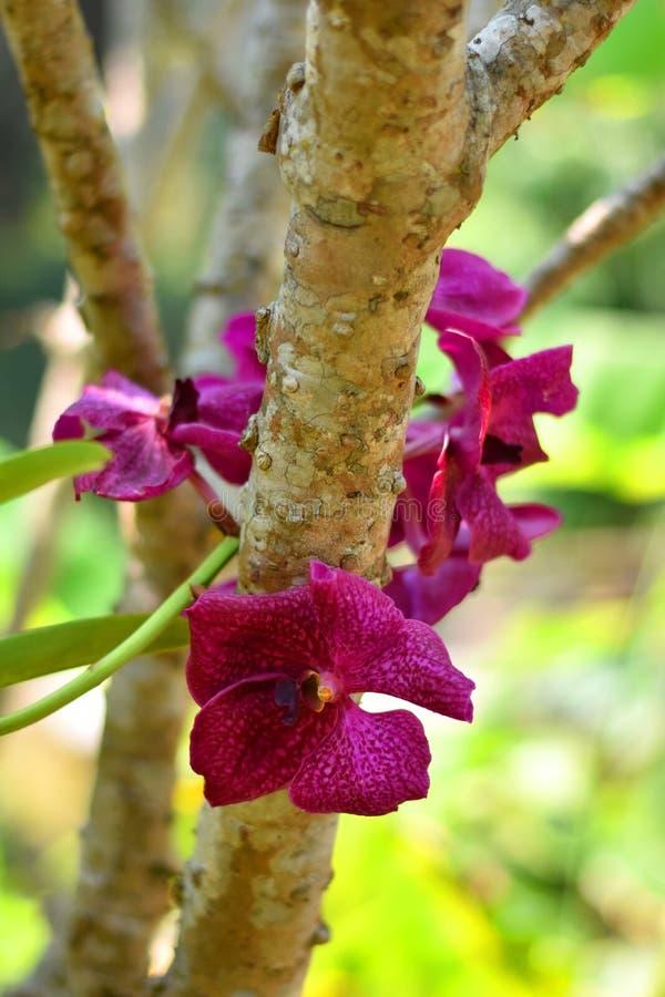 Ramalhete cor-de-rosa ou roxo bonito das flores da orquídea com ramo e as folhas verdes imagens de stock