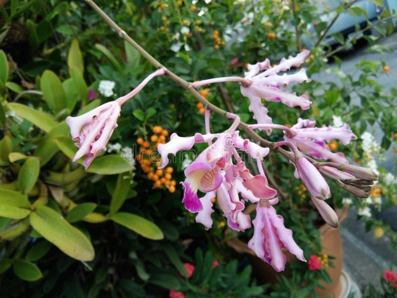 Ramalhete cor-de-rosa selvagem da flor da orquídea da flor, fundo borrado do jardim com as sementes amarelas do ereta de Duranta foto de stock royalty free