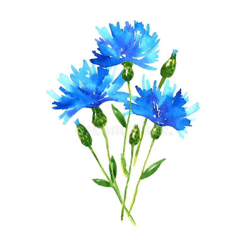 Ramalhete das cent?ureas Flores bonitas azuis Ilustra??o tirada m?o da aguarela Isolado no fundo branco ilustração stock