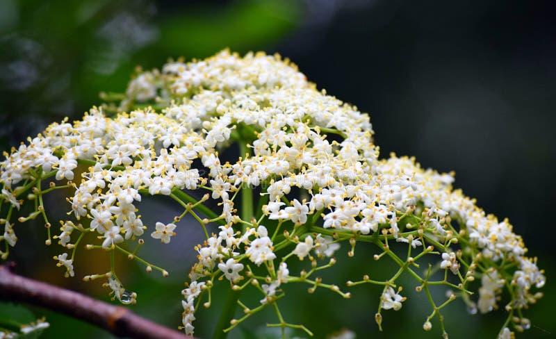 Ramalhete das flores minúsculas amarelas brancas da planta de Hogweed - Tetrataenium Rigens - Heracleum Candolleanum fotos de stock royalty free