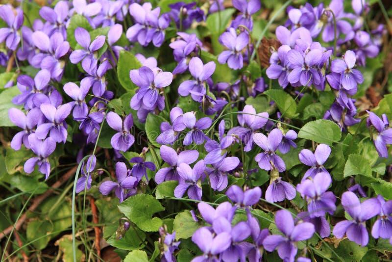 Ramalhete das violetas fotografia de stock