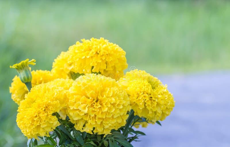 Ramalhete de flores amarelas, cravo-de-defunto americano foto de stock