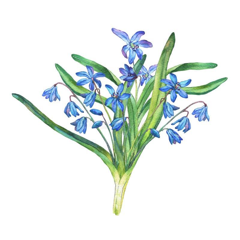 Ramalhete de flores azuis da floresta do bifolia de Scilla ilustração royalty free