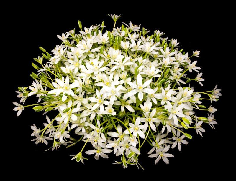 Ramalhete de flores da umbels-margarida no fundo preto foto de stock