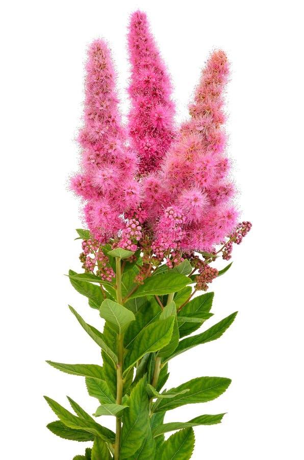 Ramalhete de flores do astilbe imagem de stock royalty free