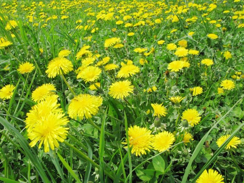 Ramalhete de flores do dente-de-leão do campo fotos de stock royalty free