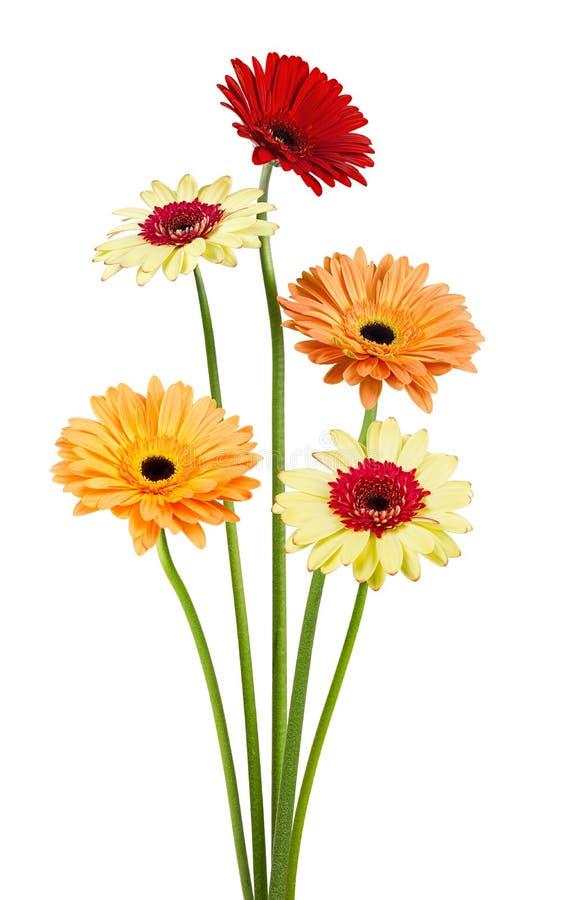 Ramalhete de flores do gerber no fundo branco fotografia de stock
