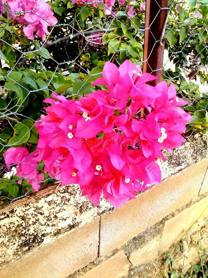 ramalhete de flores fúcsia trinitarian imagem de stock royalty free