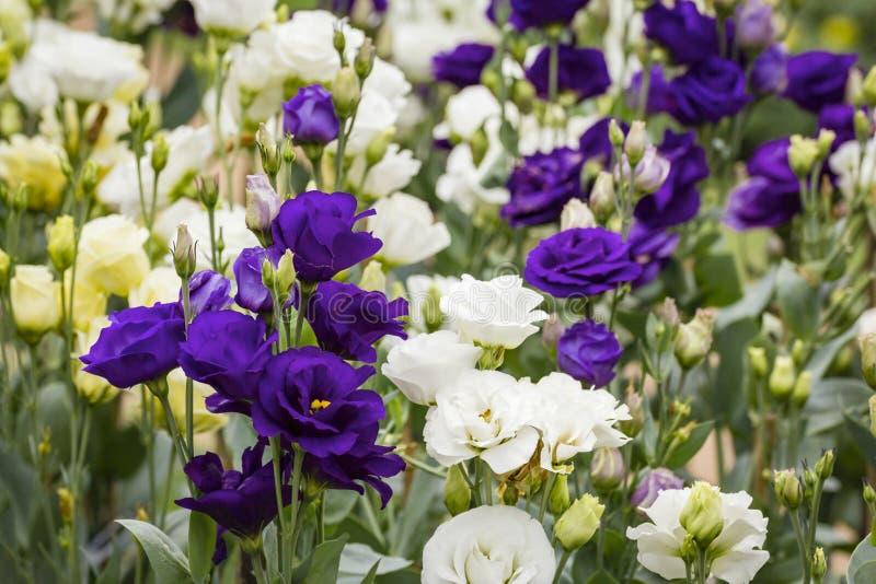 Ramalhete de flores roxas do lisianthus imagens de stock royalty free