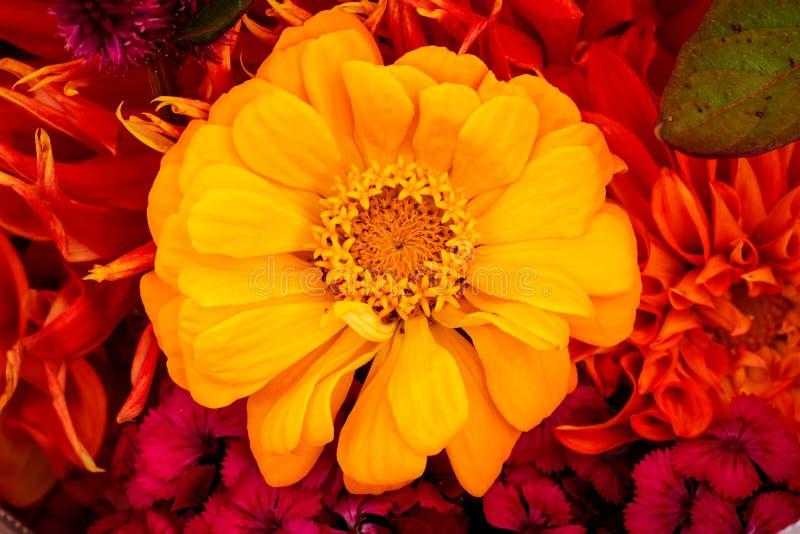 Ramalhete de florescência da flor amarela de Astereaceae do Zinnia imagem de stock royalty free