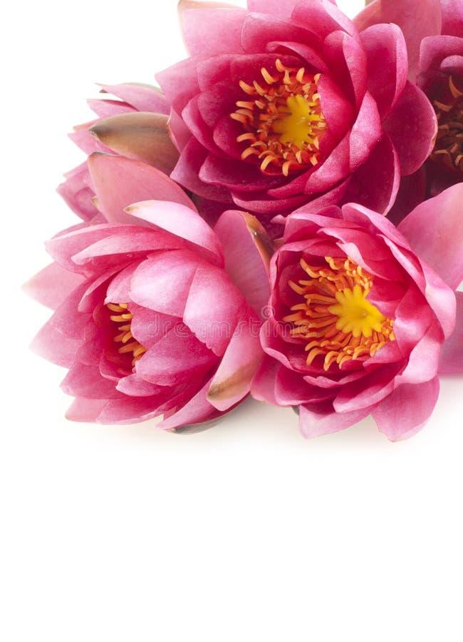 Ramalhete de lírios de água cor-de-rosa fotos de stock