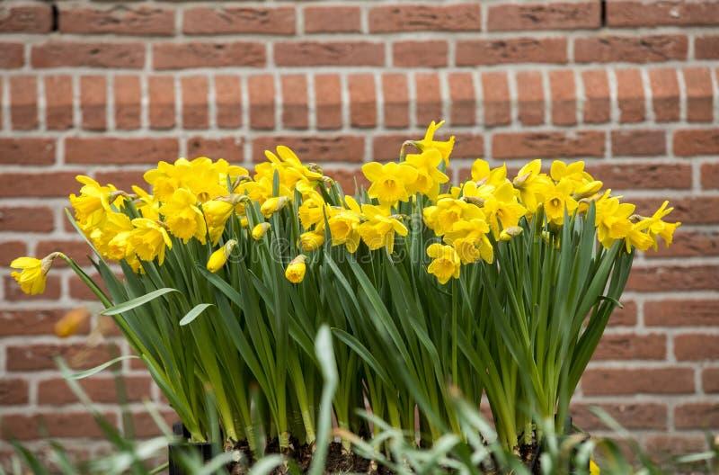 Ramalhete de narcisos amarelos amarelos, um dos símbolos da mola imagem de stock royalty free
