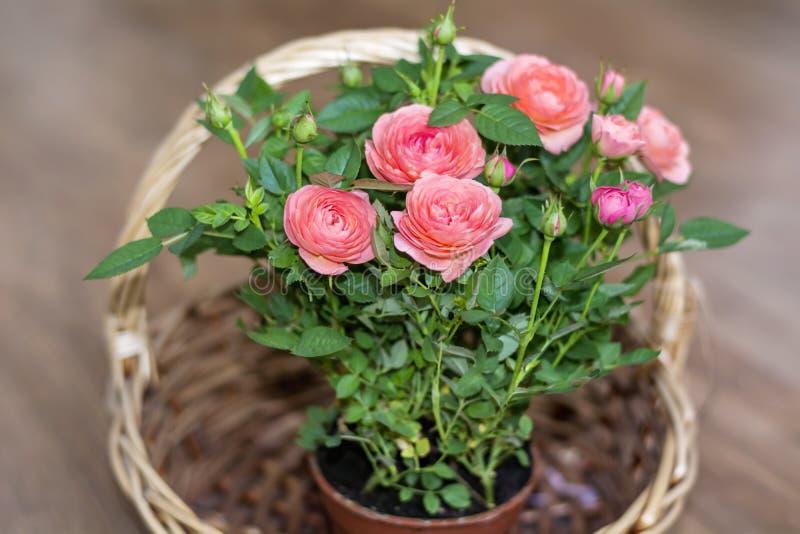 Ramalhete de rosas bonitas em uma cesta de madeira imagens de stock