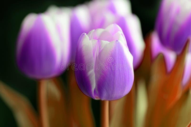 Ramalhete de tulipas roxas irreais em um fundo escuro imagem de stock royalty free