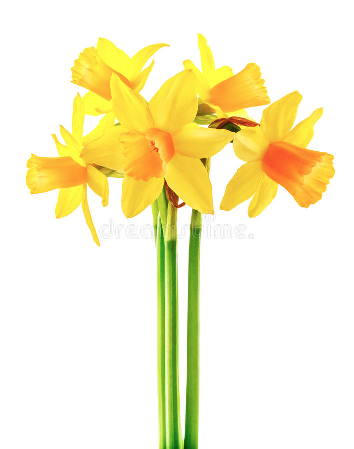 Ramalhete do amarelo do narciso da flor da mola com verde fotos de stock royalty free