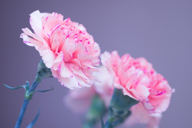 Ramalhete do close-up dos cravos Flores cor-de-rosa em um fundo cinzento Foco macio Cart?o bonito para suas felicita??es fotografia de stock