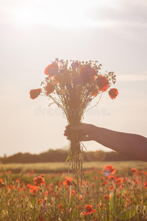 Ramalhete dos wildflowers na mão de uma mulher na luz macia do por do sol com um fundo do campo da papoila imagem de stock royalty free