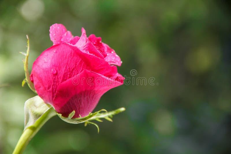 Ramalhete festivo de rosas carmesins fotografia de stock royalty free