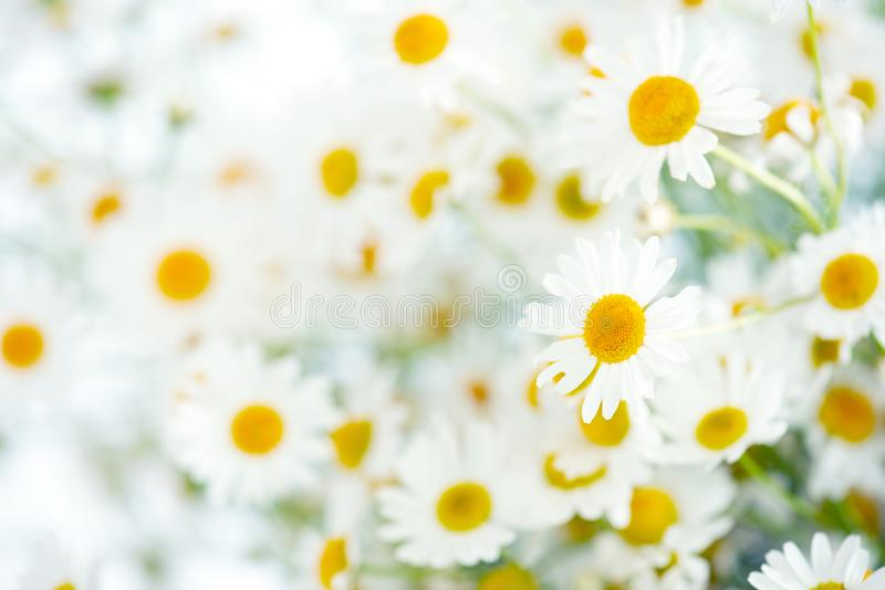 Ramalhete fresco dos camomiles, fundo fotos de stock