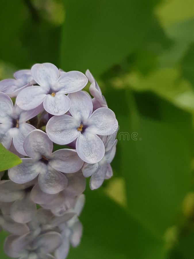 Ramalhete pequeno bonito do lil?s violeta fotografia de stock