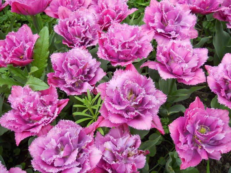 Ramalhete simples contudo bonito de tulipas cor-de-rosa imagem de stock