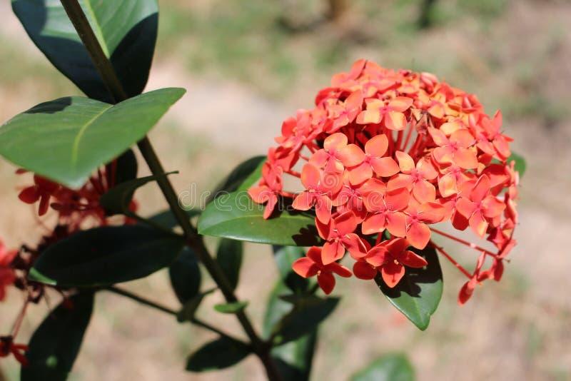 Ramalhete vermelho da flor fotografia de stock