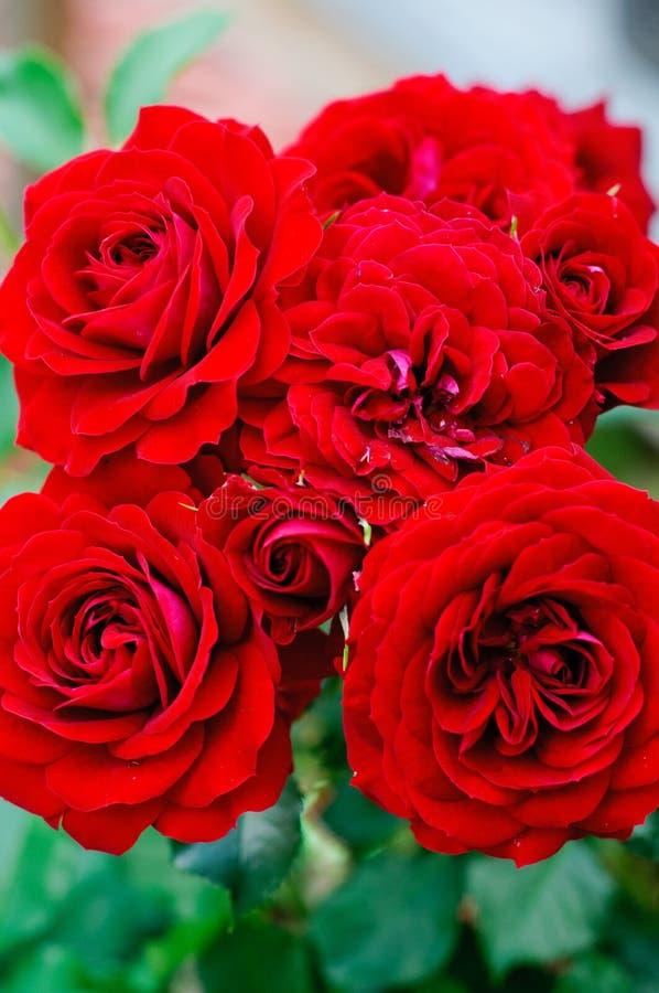Ramalhete vermelho das rosas fotografia de stock