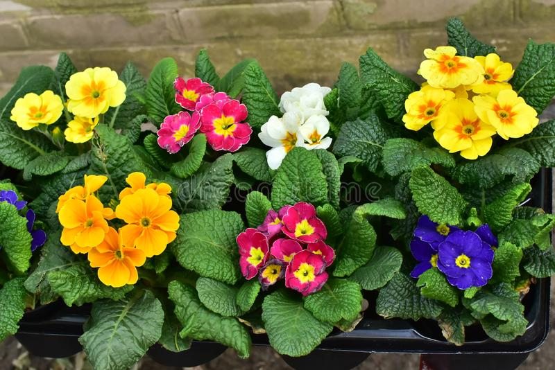 Ramalhetes coloridos frescos das flores da mola, prímula, no contador do mercado fotos de stock