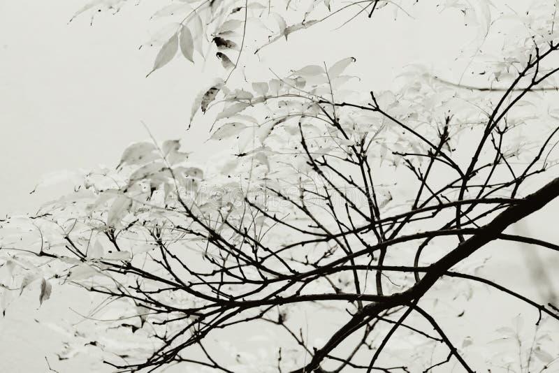 Ramas blancos y negros de un árbol en otoño imagen de archivo