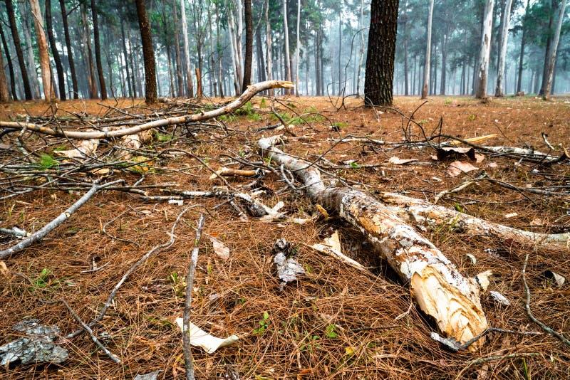 Ramas caidas dispersadas por motivo de hierba secada en el bosque del árbol de pino fotos de archivo
