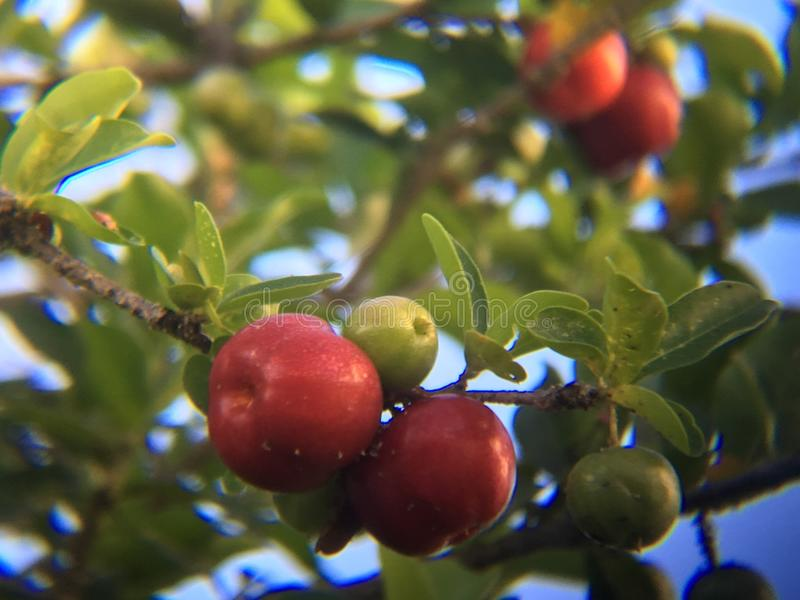 Cerezas royalty free stock images