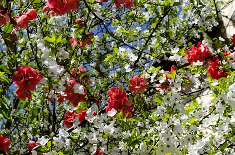 Ramas con la floración fresca del ciruelo-árbol o domestica del Prunus y membrillo japonés o flor del speciosa del Chaenomeles fotografía de archivo