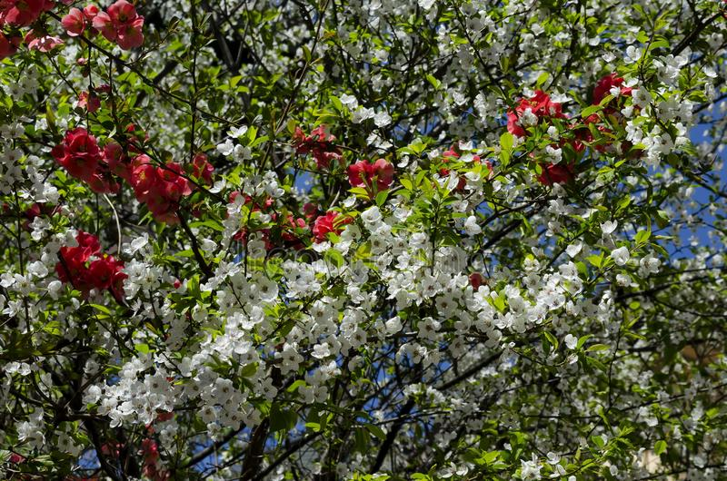 Ramas con la floración fresca del ciruelo-árbol o domestica del Prunus y membrillo japonés o flor del speciosa del Chaenomeles imagen de archivo libre de regalías