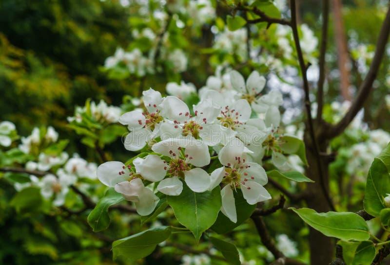 Ramas con las flores blancas delicadas de la pera en primavera en el jard?n imagenes de archivo