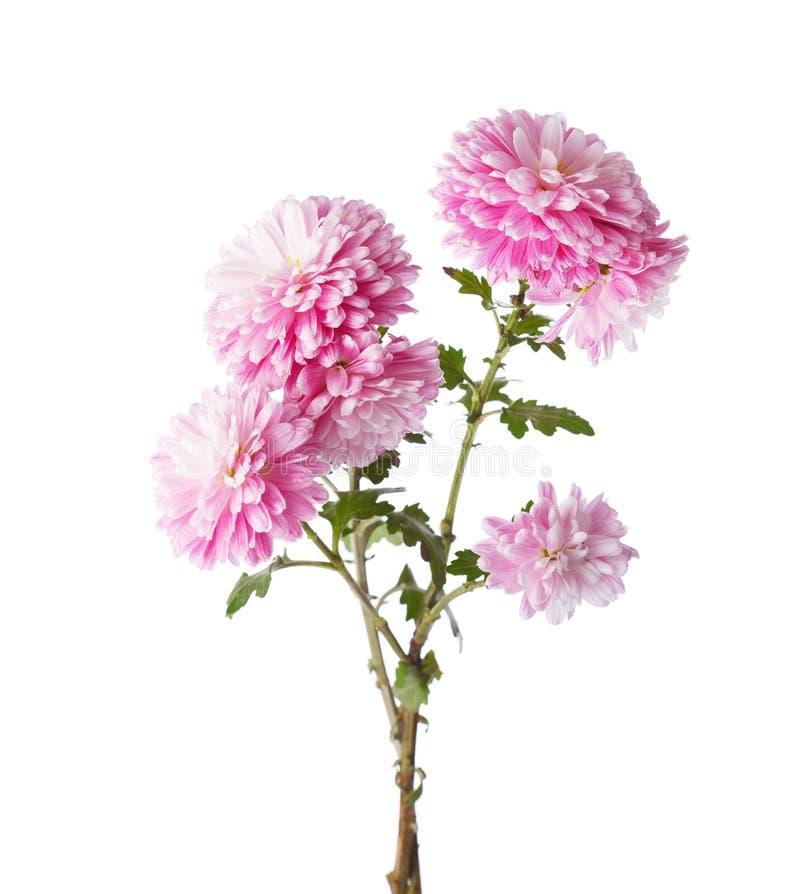 Ramas con las flores de crisantemos imagen de archivo