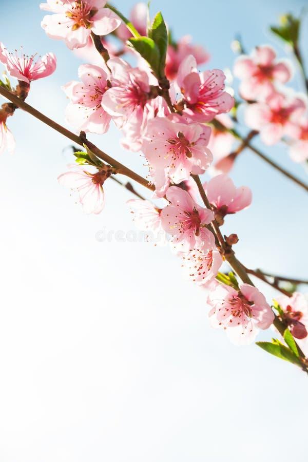 Ramas con las flores rosadas hermosas imagen de archivo