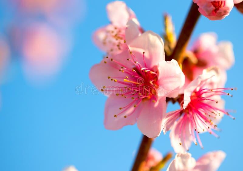 Ramas con las flores rosadas hermosas (melocotón) contra el cielo azul Foco selectivo Flor del melocotón en el soleado imagen de archivo libre de regalías
