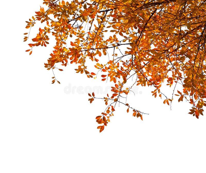 Ramas con las hojas de otoño coloridas aisladas en el fondo blanco Ciruelo de cereza fotografía de archivo