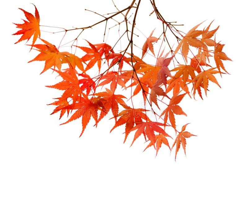 Ramas con las hojas de otoño coloridas aisladas en el fondo blanco Foco selectivo Arce japonés del palmatum de Acer fotografía de archivo
