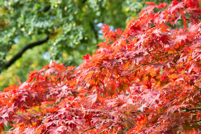 Ramas con las hojas en colores rojos del otoño foto de archivo