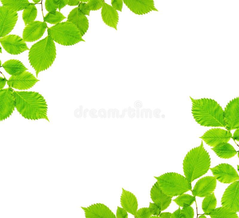 Ramas con las hojas verdes en un blanco fotografía de archivo libre de regalías
