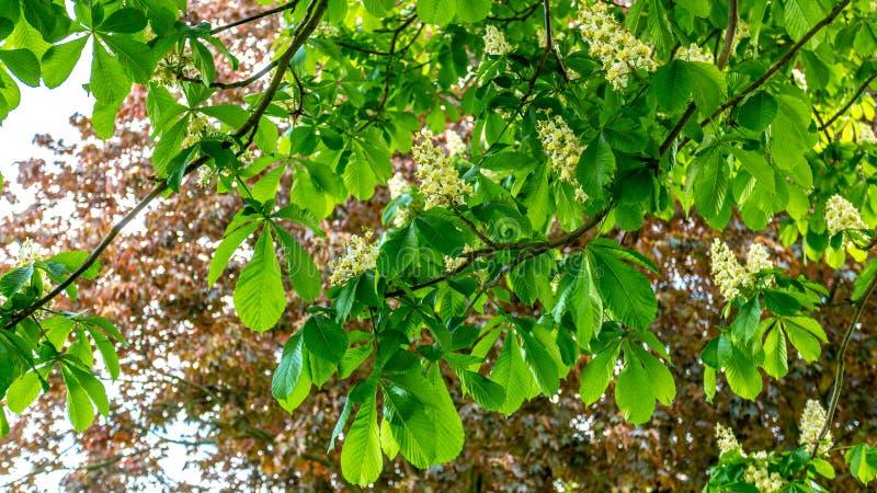 Ramas con las hojas verdes y las flores blancas de un ?rbol de casta?a y hojas de un ?rbol con las hojas rojas en el fondo foto de archivo libre de regalías