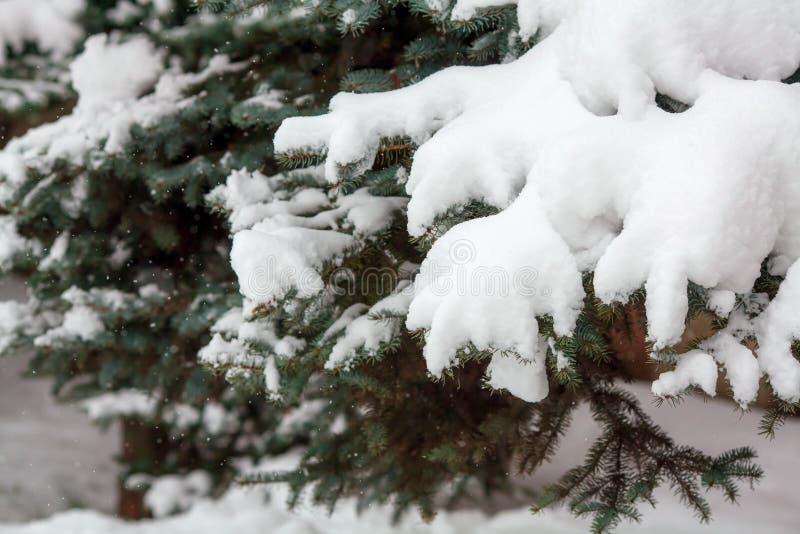 Ramas cubiertas con nieve fresca, copos de nieve que caen, fondo del abeto del invierno imagenes de archivo