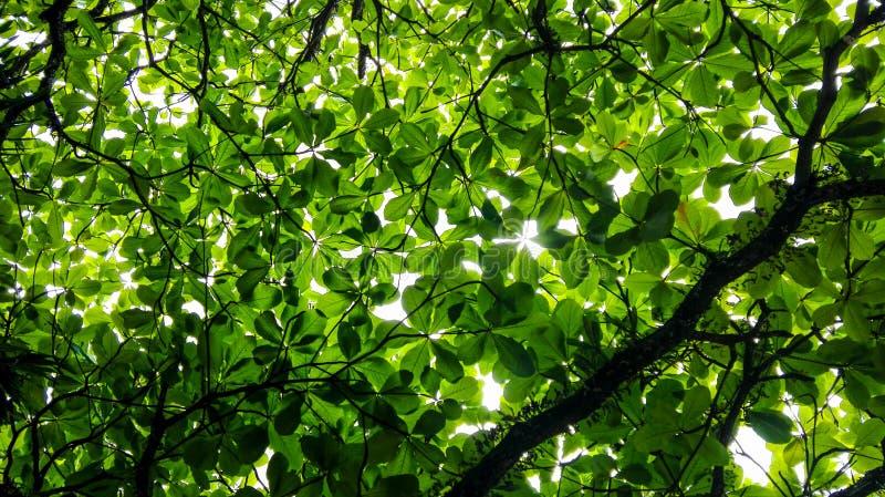 Ramas de árbol de almendra por completo de hojas, del verde y de la vida imagen de archivo