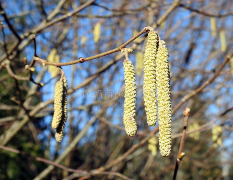 Ramas de árbol de avellana en la primavera, Lituania fotografía de archivo libre de regalías