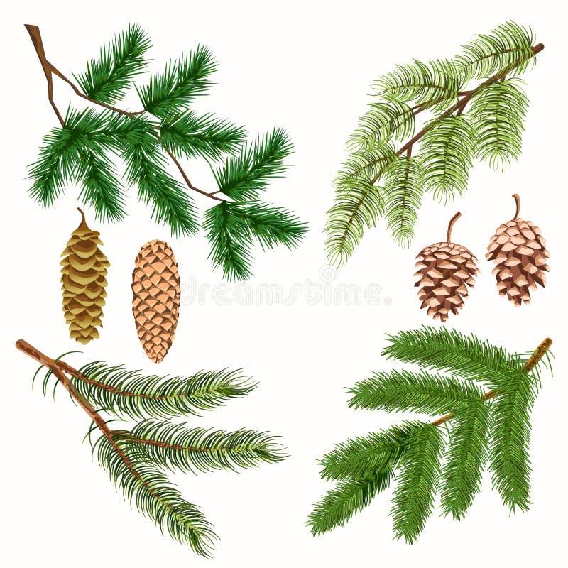 Ramas de árbol conífero con los estróbilos en blanco ilustración del vector