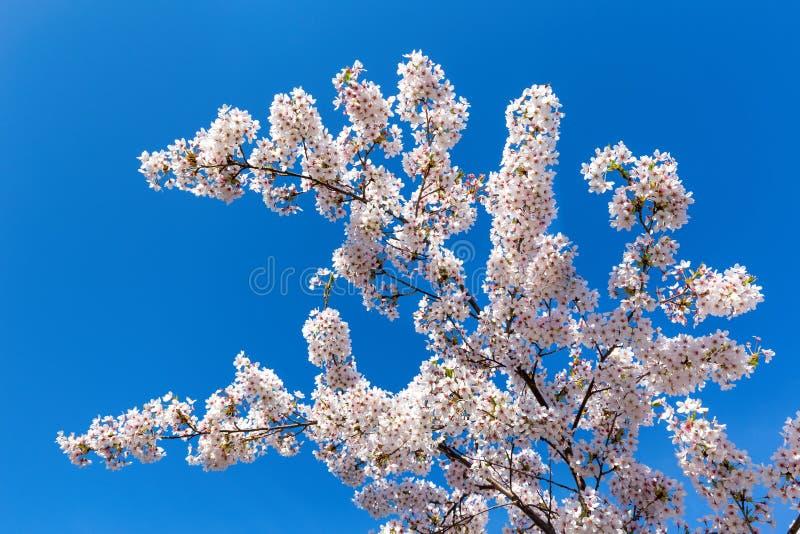 Ramas de árbol con las flores blancas florecientes imagenes de archivo
