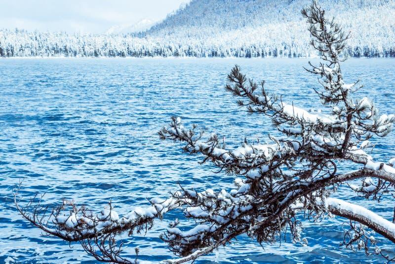 Ramas de árbol con nieve foto de archivo libre de regalías