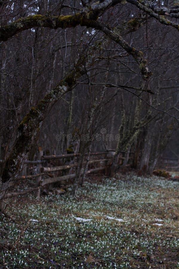 Ramas de árbol deshojadas sobre el claro con los snowdrops y las azafranes foto de archivo libre de regalías